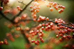 hot damn. (ecphotographic) Tags: autumn red tree evening glow berries earthy choice choices leafless 50mmf14d d700 notdeep