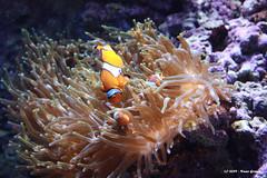Finding Nemo (Nuno-Gomes (Enough is enough)) Tags: life light sea water aquarium interesting fantastic bestof underwater shot lisboa lisbon great best explore
