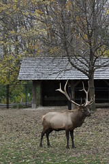 Elk (cmlburnett) Tags: wisconsin zoo milwaukee elk wapiti canadensis milwaukeezoo milwaukeewisconsin cervus cervuscanadensis