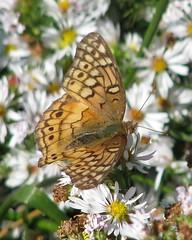 a very late Variegated Fritillary (Vicki's Nature) Tags: autumn orange white canon georgia bokeh wetlands asters fritillary s5 variegatedfritillary huie macromarvels butterflyspots bwcguvwxyz