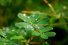 Gotas en Tréboles (Howdy The Strange**) Tags: verde agua plantas gotas treboles