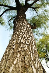 tall.. .. (Mel@photo break) Tags: plant tree green skin palace korea mel seoul trunk tall melinda gyeongbokgung      sooc chanmelmel  melindachan