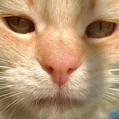 trovatooooo....!!!!! (archifra -francesco de vincenzi-) Tags: italy macro cat chat sony gato gatto ciccio molise carlzeiss gattorosso carlzeisslenses oreengeness impressedbeauty vosplusbellesphotos catnipaddicts archifraisernia francescodevincenzi friendsofzeusphoebe