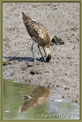 Whimbrel Poking For Food (magforce) Tags: nature birding greenery sbwr bifs sungeibulohwetlandreserve wildlifesingapore migrantvisitor