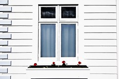 Looking through the window (bgladman) Tags: flowers newzealand white house window rose photography nikon stock nelson explore frame southisland neuseeland d300   nuevazelandia nouvellezlande  bgladman