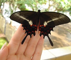 *o* (Mh :)) Tags: animal butterfly natureza borboleta mariposa 365days