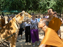 Stare off between a tiger and a Buddhist monk at the Tiger Temple, Wat Pa Bua Yannasampanno Forest Monastery Kanchanaburi Thailand