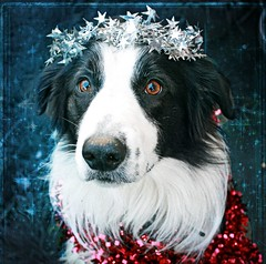 Christmas Angel :) (meg price) Tags: christmas collie border tinsel bordercollie barney mywinners thelittledoglaughed freetexturefromjoessistah thelittledoglaughedcontestwinner