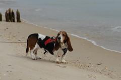 dog beach hound basset aggie sgi bassethound stgeorgeisland butters sooc aggieandbutters