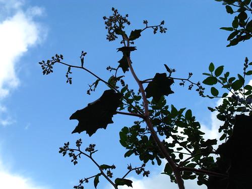 Senecio cristobalensis
