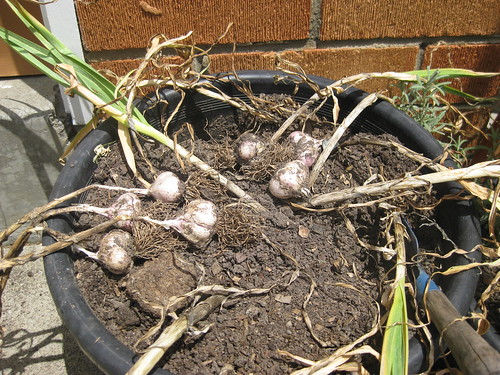 Garlic Harves