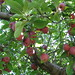 """Apples • <a style=""""font-size:0.8em;"""" href=""""http://www.flickr.com/photos/26088968@N02/5722461019/"""" target=""""_blank"""">View on Flickr</a>"""