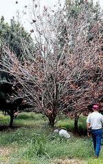 Anglų lietuvių žodynas. Žodis macadamia tree reiškia makadamijos medis lietuviškai.