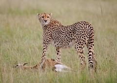 Cheetah with Thompson's Gazelle Kill, Maasai Mara, Kenya