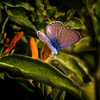 Blue+ (Explored) (Portraying Life, LLC) Tags: unitedstates arizona ventanacanyonwash butterfly handheld nativelighting closecrop