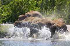 Charge in!!! (kenyaya) Tags: wild ontario canada elephant animal canon asian rebel zoo african hamilton lion conservation safari elephants xs charge attraction flamborough 1000d