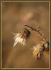 Bogncs... (PeaceInWoodstock) Tags: wildflower virg bogncs vadvirg
