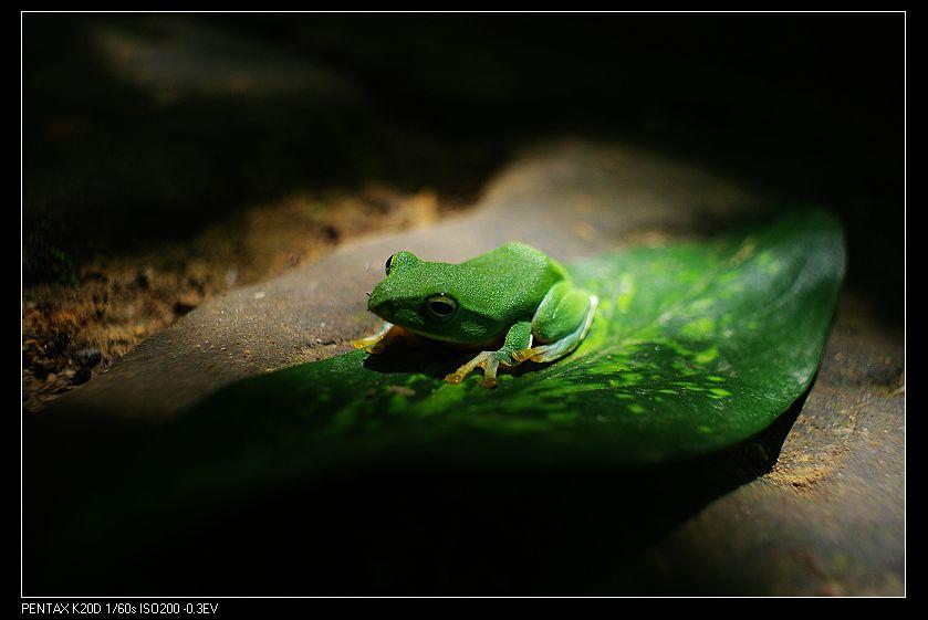 俄鏡Mir 20/3.5 M42 2009.7.12,短焦版樹蛙!