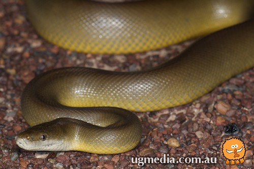 Water python (Liasis mackloti)
