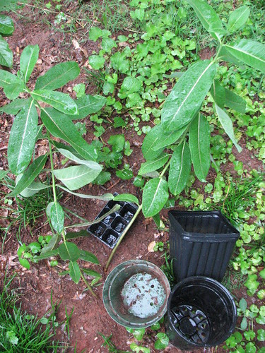 Potting up native plants (such as this milkweed) to give out to your neighbors is a great way to recycle those accumulating nursery pots.