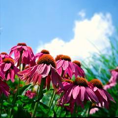 Flowers at the Arboretum in Lexington, Kentucky (Don3Mal) Tags: travel flowers summer usa color nature grass sunshine rolleiflex mediumformat happy outdoor lexington kentucky sommer arboretum summertime mittelformat