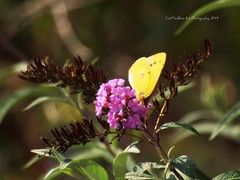 Yellow Butterfly (coldteablues) Tags: flower butterfly bug insect landscape botanical bush shrub botany horticulture picnik butterflybush butterflyweed