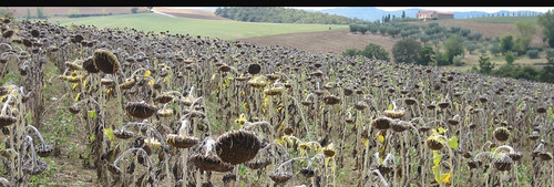 Dead Sunflowers 008
