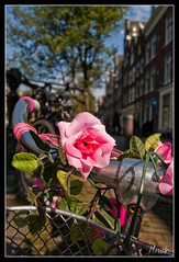 Sunny Amsterdam (misoki) Tags: pink flowers flower holland netherlands amsterdam bicycle rose canal nikon nederland roos grachten bloem egelantiersgracht grachtenpanden grachtenpand d40 misoki