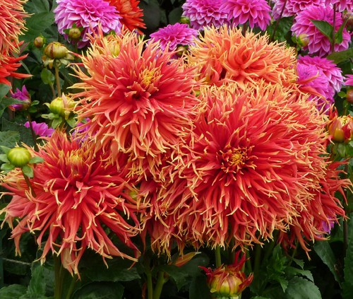 "Huge ""sunburst"" dahlia!"