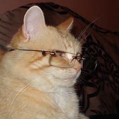 l'intellettuale (archifra -francesco de vincenzi-) Tags: italy cat chat gatto ciccio molise isernia estremit archifraisernia francescodevincenzi httpwwwflickrcomgroupscatsandogs