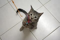 Hartz Birds Of A Tether (Chrischang) Tags: pet animal cat