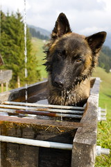 Cite im Httenbrunnen (Urs Wachter) Tags: dog chien cute water fountain animal switzerland eau wasser pretty suisse swiss brunnen htte hond aarau well hund bern svizzera puto aargau ktv overload cite pozzo urs meiringen welpe wachter schferhund puits hasliberg tervueren svizra  belgischer  sonyalphadslra350