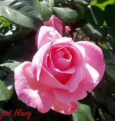 Rose Pink (pat.bluey) Tags: light colour spring australia newsouthwales mygarden pinkrose delightfulroses travelsofhomerodyssey