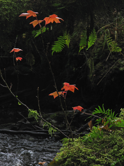 an autumn creek scene in the rain forest near Kasaan, Alaska
