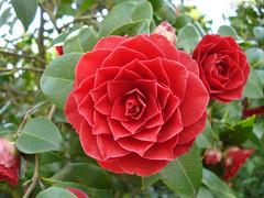 .:. Quinta Flor --,--@ .:. (Bonecos de Pano .Com) Tags: flower camelia quintaflor