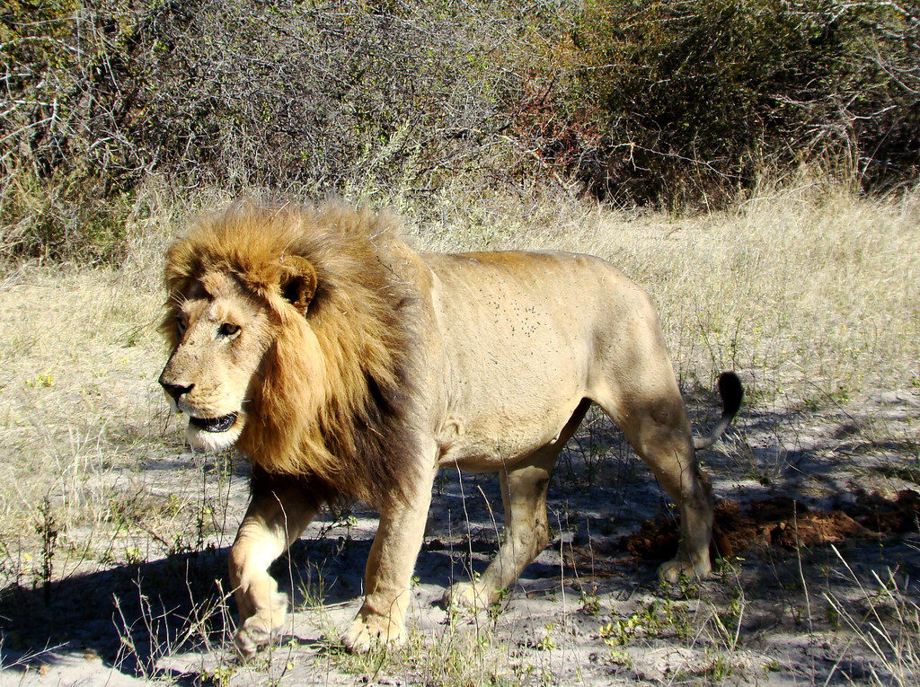 DSC08304 Lion