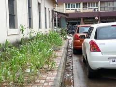 CCP's latest project: Maize crop on Pavement (joegoaukdirtypanjim3) Tags: garbage pavement goa crop rubbish maize panjim joegoauk
