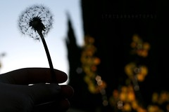 Dandelion Wishes (Sarah Ching) Tags: orange blur macro tree silhouette dark focus hand bright bokeh finger fluff dandelion wish shape pentagon define trisarahhtops