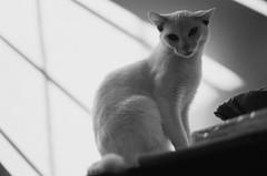 Bom dia [good morning] (Guilherme Pedreiro) Tags: light sun david sol branco cat preto e gata felino guilherme pedreiro