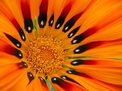 calida flor