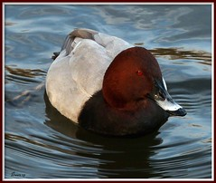 Male Red Headed Pochard. (Church Mouse 07) Tags: park uk winter lake nature water lumix duck december wildlife panasonic british malepochard dmcfz28 churchmouse07 naturesgreenpeace