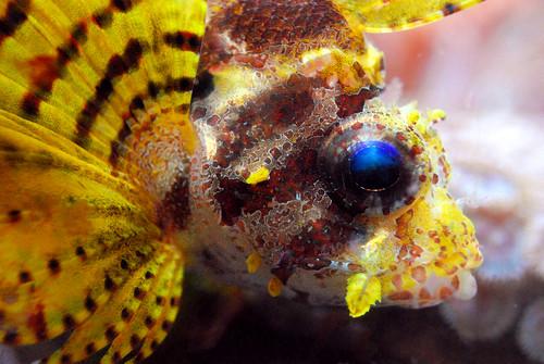 Lionfish Face