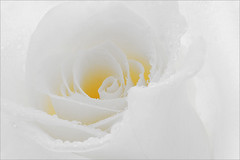 Flower / Rose Flower / Macro Flower / White Rose Flower / high key / close up rose / closeup / - IMG_9865 - (Bahman Farzad) Tags: white flower macro nature beautiful up rose closeup high key colorful close hi highkey whiterose hikey     roseflower flowerrose closeuprose rosecloseup