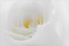 Flower / Rose Flower / Macro Flower / White Rose Flower / high key / close up rose / closeup / - IMG_9865 - (Bahman Farzad) Tags: white flower macro nature beautiful up rose closeup high key colorful close hi highkey whiterose hikey زهرة 莲花 گل اللوتس roseflower flowerrose closeuprose rosecloseup ハスの花 لوتوس