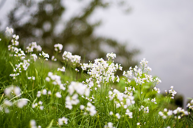 4959 små vita blommor