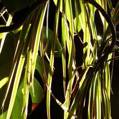 Cascade de lumire (domiloui) Tags: nature composition nikon flickr lumiere leafs couleur insolite plantes ambiance abstrait nuances feuillage cooliris abaucourt