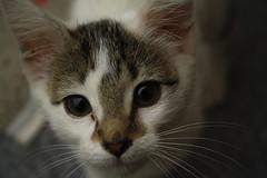 Cat (Miico !) Tags: cat gata