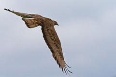 European honey-buzzard /  (Volkan Donbalolu) Tags: bird nature dof action russia bokeh wildlife honey buzzard hayat volkan ku ar   doal novorossiysk doa   rusya pernisapivorus europeanhoneybuzzard yaban   ahini   krasnodarkrai   donbaloglu donbalolu   arahini