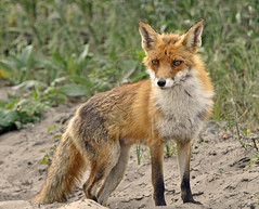 Foxy lady - Part 1 - Explored - (Wouter's Wildlife Photography) Tags: ngc fox vos vulpesvulpes naturesfinest specanimal fantasticnature nikond90 flickraward natureselegantshots nikonflickraward thebestofmimamorsgroups theoriginalgoldseal mygearandme mygearandmepremium blinkagain bestofblinkwinners exploremay20th 3rdplacehighqualitynaturesiconcontest