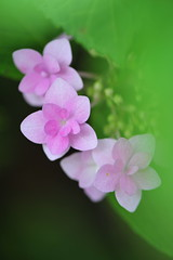 Soothing Colors (*Sakura*) Tags: pink flower macro green nature japan tokyo purple  sakura  hydrangea rainyseason